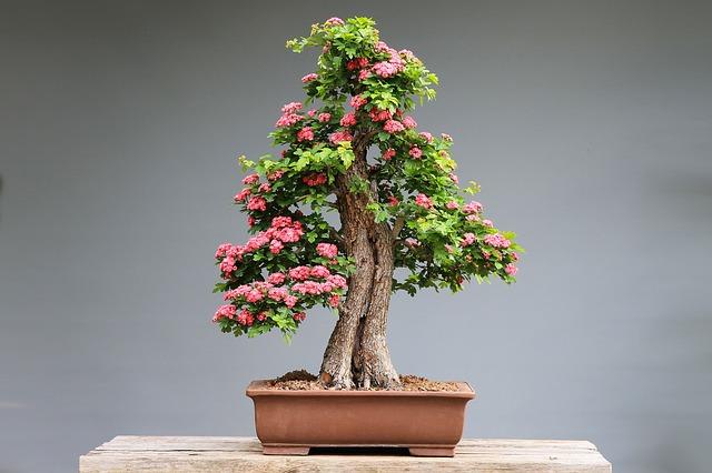 drzewko szczęścia bonsai